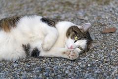 Oscar rolling on the floor (Tambako the Jaguar) Tags: cat domestic male young portrait cute rolling floor stones zürich switzerland nikon d850