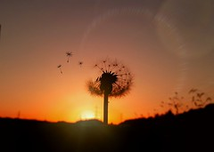 Make It Worthwhile (Michelle O'Connell Photography) Tags: nature flower dandelion dandelionseed wish sunset silhouette sunshine glasgow summer skylovers michelleoconnellphotography