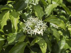 Common Dogwood flowers (Baractus) Tags: common dogwood brueton park solihull west midlands uk john oates