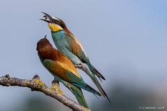 European bee-eaters (Merops apiaster). (Ciminus) Tags: naturesubjects aves ornitologia nature ciminus afsnikkor500mmf4gedvrii afsmicronikkor105mmf28gedvrii ciminodelbufalo matingrituals uccelli gruccioni europeanbeeeaters oiseaux wildlife meropsapiaster ornitology birds nikond500 coth5