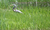 Blue heron - 6/19/18 (myvreni) Tags: vermont spring nature outdoors wildlife birds heron blueheron