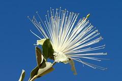 """Capparis spinosa """"Flower in the sky!"""" (Uhlenhorst) Tags: 2008 australia australien plants pflanzen flowers blumen blossoms blüten travel reisen"""