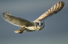 Barn Owl (wild) - Let me take a closer look! (Ann and Chris) Tags: avian amazing awesome barnowl bird beak cute flying gorgeous hunting hunt incredible impressive incoming looking outdoors owl stunning unusual vivid wild wildlife wings