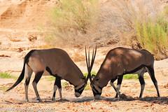 DSC_8834-2 (paul mariano) Tags: paulmarianocom paul mariano allrightsreserved namibia wildlife photography animals africa
