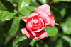 Maig_0137 (Joanbrebo) Tags: barcelona catalunya españa es 17èconcursinternacionalderosesnovesdebarcelona park parque parc parccervantes garden jardí jardín flors flores flowers fiori fleur blumen blossom rose rosa canoneos80d eosd efs18135mmf3556is autofocus