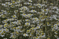 Ditch Daisies (robinlamb1) Tags: nature outdoor plant flower ditch daisy daisies wildflowers langley