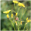 Blowin' in the Wind (JulieK (thanks for 7 million views)) Tags: hfdf fungus dead diptera entomophthoramuscae nipplewort lapsanacommunis wildflower nature fauna flora insect squareformat bokeh green flydayfriday ireland irish canoneos100d 100flowers2018