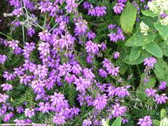 Heather (Marit Buelens) Tags: moor walking hiking heather erica heidekruid england cornwall carnbrea valsesalie teucriumscorodonia woodsage