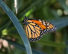 Monarch Butterfly (D. Aber) Tags: monarchbutterfly danausplexippus