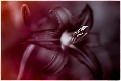 open invitation (Simon[L]) Tags: lily stamen open bloom toned red orange petals pollen canon35mmf18ltm
