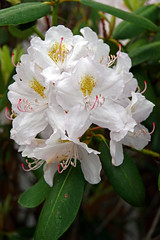 DSC00603 - Rhododendron (archer10 (Dennis) 141M Views) Tags: sony a6300 ilce6300 18200mm 1650mm mirrorless free freepicture archer10 dennis jarvis dennisgjarvis dennisjarvis iamcanadian novascotia canada glooscaptrail rhododendron flower fundy