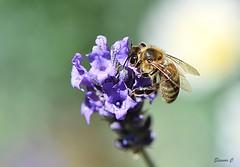 Busy Bee  HBBBT (Eleanor (No multiple invites please)) Tags: honeybee lavender garden stanmore uk nikond7200 105mmmacrolens june2018