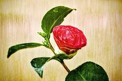Shieldmaiden (Claudia G. Kukulka) Tags: rose flower blume plant pflanze