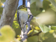 Yellow-throated Vireo, Vireo flavifrons (bruce_aird) Tags: