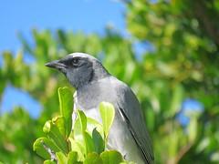 Coracina novaehollandiae melanops 11 (barryaceae) Tags: tuncurry breakwall nsw australia ausbird ausbirds blackfaced cuckooshrike coracina novaehollandiae melanops