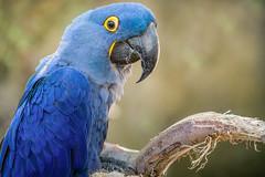Blue Boy (helenehoffman) Tags: blue aves conservationstatusvulnerable macaw bird sandiegozoo anodorhynchushyacinthinus hyacinthmacaw southamerica animal