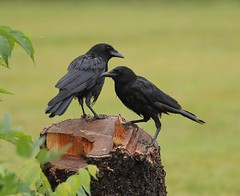 The Meeting Place (Slow Turning) Tags: corvusbrachyrhynchos americancrow twobirds crows perched tree stump rain wet summer southernontario canada