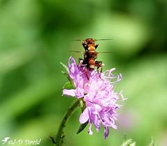 Biplan ? Ou... (Jean-Daniel David) Tags: insecte insectevolant fleur verdure vert mauve bokeh grosplan closeup macro nature suisse suisseromande vaud syrphe