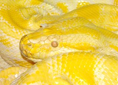 """James""  (1992?) - July 11, 2018. (EcoSnake) Tags: james albino burmesepython pythonmolurusbivittatus snakes reptiles education teaching friends"