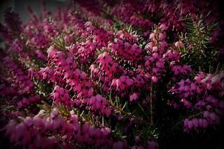Blumen, Blüten - flowers and blossoms, effect- serie ,  pink,  74348/10297
