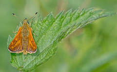 DSC2338  Large Skipper.. (jefflack Wildlife&Nature) Tags: skipper skippers largeskipper lepidoptera butterflies butterfly insects insect wildlife wildlifephotography wildflowers grasslands moorland marshland meadows marshes glades copse countryside heathland hedgerows jefflackphotography nature