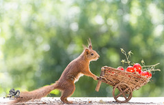 red squirrel with a wheelbarrow with tomatos (Geert Weggen) Tags: agriculture animal backgrounds closeup colorimage crop cultivated cute dirt environment environmentalconservation environmentaldamage environmentalissues food freshness gardening global greenhouse growth harvesting healthyeating horizontal humor lifestyles mammal nature newlife nopeople organic outdoors photography planetspace planetearth plant pollution red rodent seed socialissues springtime squirrel summer tomato vegetable garden wheelbarrow bispgården jämtland sweden geert weggen ragunda hardeko