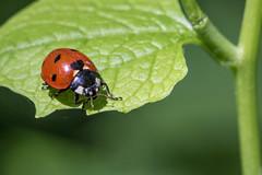 Ladybug (Adrià Páez) Tags: ladybug insect animal red green nature vegetation plant leaf macro het zwin canon eos 7d mark ii 60mm