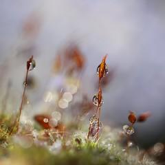 Carré d Ô (Callie-02) Tags: brillance verdure macrographie macro canon profondeurdechamp couleur reflet réflexion lumière perle drop bokeh goutte eau scintillement herbe germe printemps nature extérieur jardin plante mousse