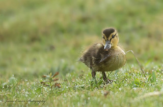 Early Morning Duckling