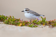 Snowy Plover (X86_7177-1) (Eric SF) Tags: plover snowyplover waterfowl halfmoonbay ca