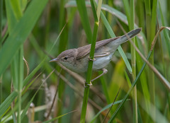 Reed Warbler 15-07-2018-1615 (seandarcy2) Tags: warbler reed reedbed fenland birds wildlife
