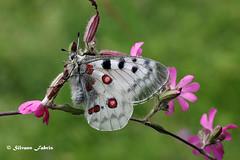 Apollo (silvano fabris) Tags: butterfly canon macro photonature nature natura apollo farfalla