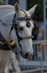 A Horse Of Course (Scott 97006) Tags: horse animal white bridle parade alert perky ears