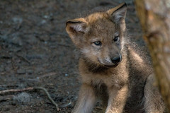 Baby Wolf (NicoleW0000) Tags: graywolf wolf cub kit baby animal carnivore eyes wildlife parcomega montebello quebec