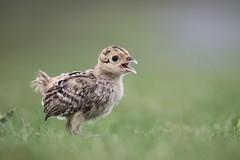 Baby Pheasant (bilska.anna) Tags: