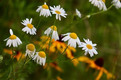 A Community of Comfort (Haytham M.) Tags: outdoors outdoor stroll plants plant daisy daisies flowers nature