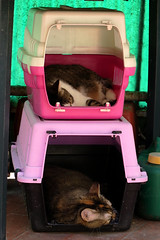 Bunk beds (Alfredo Liverani) Tags: happy caturday happycaturday afavouriteplace favourite place europa europe italia italy italien italie emiliaromagna romagna faenza faventia faience animal kitten gatto gatta gatti gatte cat cats chats chat katze katzen gato gatos pet pets tabby furry kitty moggy moggies gattino animale ininterni animaledomestico aliceellen alice ellen canong5x canon g5x pointandshoot point shoot ps flickrdigital flickr digital camera cameras favouritespots spots