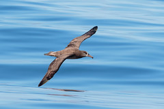 black-footed albatross (v_ac_md) Tags: blackfootedalbatross pacificgrove california unitedstates us