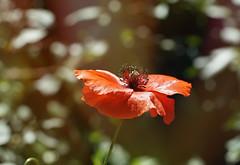 Poppy and Bokeh (Wim van Bezouw) Tags: sony ilce7m2 bokeh poppy flower