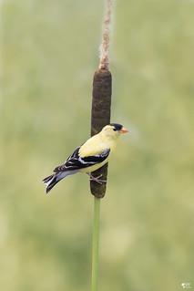 ''Chez moi!'' Chardonneret  jaune-Americain goldfinch