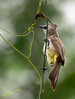Hang On! (melvhsc100) Tags: nature wildlife tampinesecopark singaporescenery garden greenery bird bokeh feathers nikon7200 tamron150600mm telephotolens