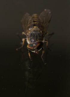 Band eyed horsefly - Tabanus bromius