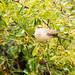 Barred Warbler eating berries