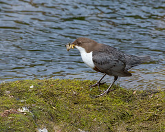 Dipper : Cinclus cinclus (Jerry Hawker) Tags: somerset busy collecting aquatic lavaedipper cinclus water grub maggot river stream moss rock weed
