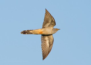 Cuckoo on the Wing