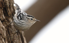 Black and White Warbler [female]