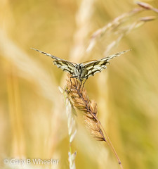 Marbled White Butterfly (Ponty Birder) Tags: g b wheeler pontybirder garywheeler insects butterfly england