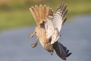 Downward Hawk