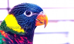 Parakeet (a2roland) Tags: normanzeba2rolandyahoocoma2roland parakeet parrot colors nature wildlife birds