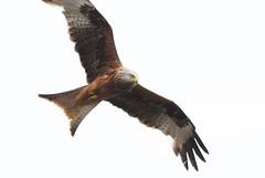 DSC_0616 (PeaTJay) Tags: nikond300s reading lowerearley berkshire outdoors nature birds birdsofprey redkite
